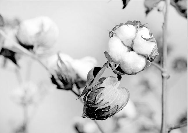 Supima-puuvilla